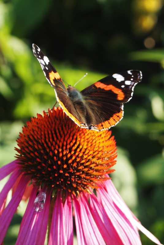 web-zonnehoed en vlinder okt 2011wandelen en fiet